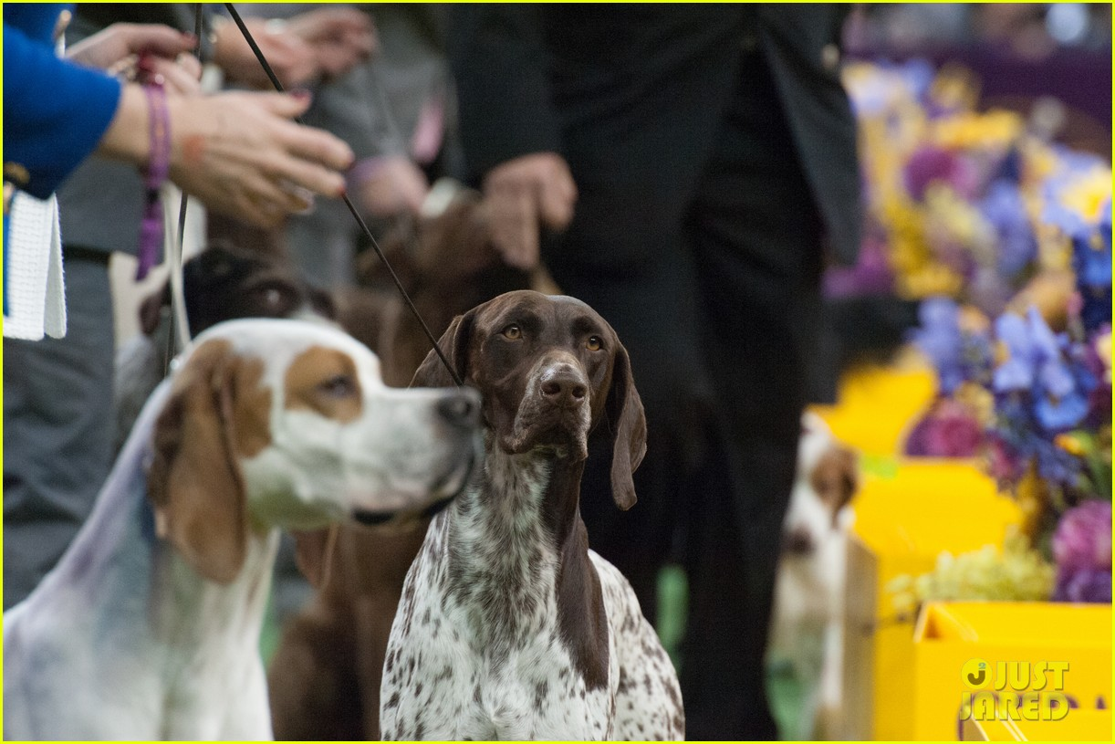 Who won best in show at westminster dog show 2016 photo 3581295