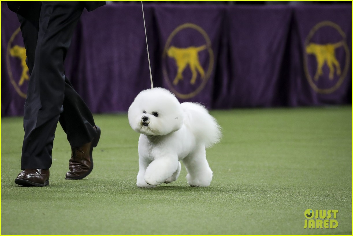 Who Won Best In Show At Westminster Dog Show 2018 Photo 4032838