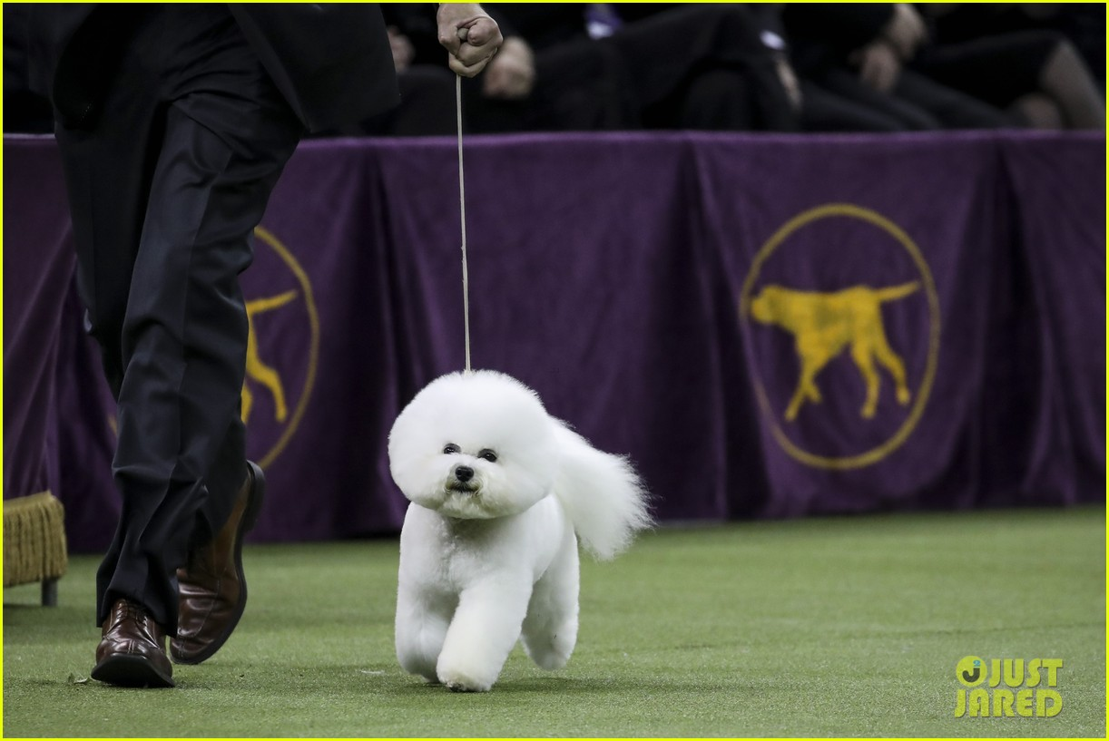 Who Won Best In Show At Westminster Dog Show 2018 Photo 4032846